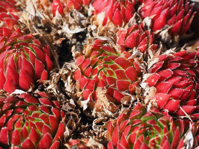 Ova biljka čini čuda za dušu i telo: Dobro podnosi sušu, ne zahteva puno vode, a najčešće je viđate na krovovima kuća
